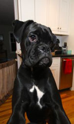 Boxer puppies sold by Boondocks Boxers