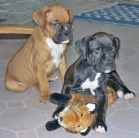 Boxer puppies.