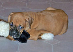 Boxer puppy Cooper lives in Houston